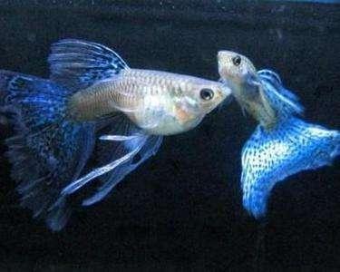 孔雀鱼饲养的四大黄金攻略